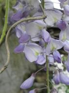 Dans mon jardin ... enivrante...