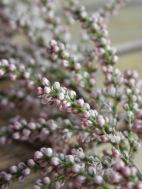 Une Floraison portée par de fins rameaux graciles...